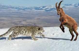 Leopar ve Dağ keçisi amansız mücadelesi